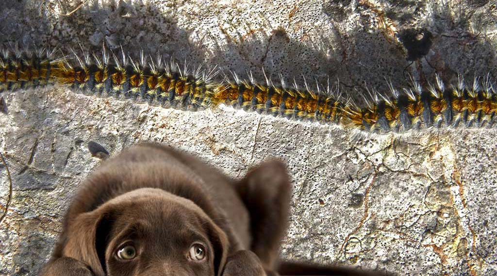 La procesionaria y los perros ¡Peligro!