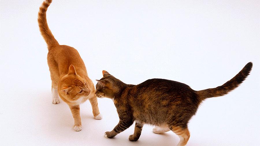 Olfateándose mutuamente para reconocerse. Castración o esterilización en gatos y gatas.