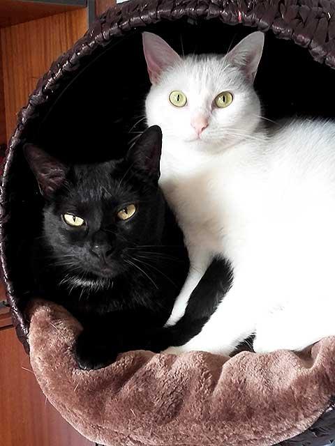 dos gatos blanco negro